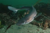 Spiny Dogfish Shark Numbers