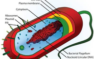 A Prokaryotic Civilization Similar to E.  Coli