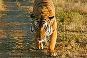 Adult South China Tiger