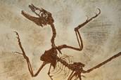 Animal Fossil