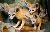 Fennec Fox reynard