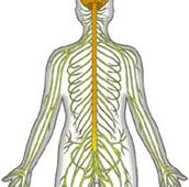 Crypte Minérale Système Nerveux
