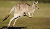 Adult Kangaroo with a Joey in her Pouch