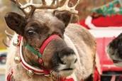 Come pet Santa's Reindeer