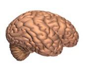 Regular Brain