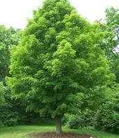 The White Pine Tree