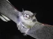 The Gray Bat