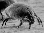 Scabies (animal)