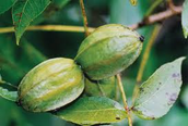 Nut Culture and Pecan Grafting Workshop