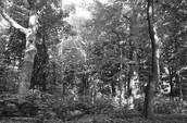 Minnesota Forest