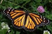 Where monarchs are