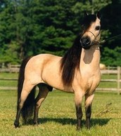 Buckskin Mini Pony