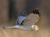 What we are going to do about the Northern Harrier being endangered?