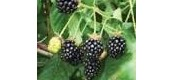 Wanted, the Himalayan Blackberry