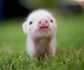 All about the pigs