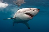 Quick Facts about the great white shark