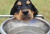 Cute little puppy drinking water