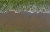 Infected Algae in Lake Michigan