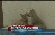 Baby Wolf Pups!