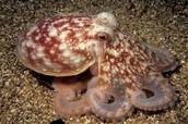 Lesser Octopus