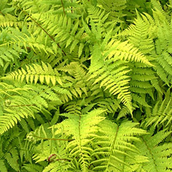 The Lady Fern