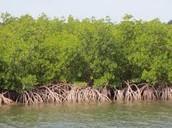 Florida Mangrove!