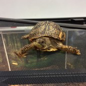 Ghandi our box turtle!