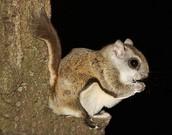 A Carolina Northern Flying Squirrel