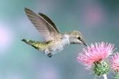 HUMMINGBIRD (POLLINATOR)