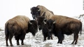 A small herd of Bison staying close to keep warm