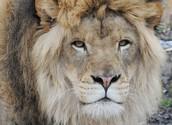 Lion starring