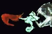 Abyssopelagic shrimp