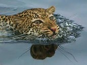 leopard swimming