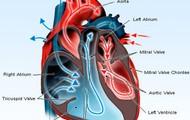 4 Heart Valves