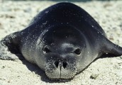 why are monk seals are endangered?