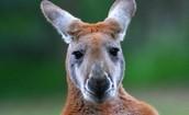 Kangaroo Behavior: