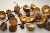 Dissected Acorns