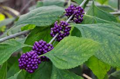 The Beautyberry