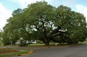 Georgia state tree