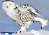 this picture is a snowy owl that caught something.