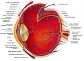 Eye Structure and Functions