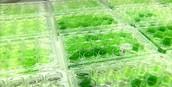What are Algal Bio fuels?