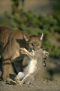 Mountain Lion's | Smore Newsletters