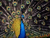 History of the male Peacock
