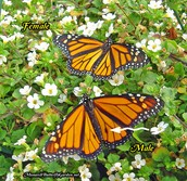 Monarchs body