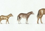 Evolution of The Modern Day Horse