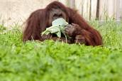 The orangutang likes to eat fruit!