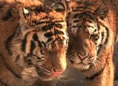Dos de los tigres que viven aquí