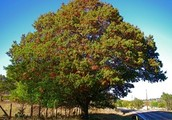 WHAT YOU NEED TO KNOW IF YOU WANT TO GROW A RED OAK IN YOUR YARD