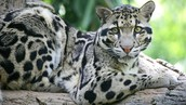 Clouded leopards and Snow leopards